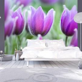 Fotomural - Tulipanes violeta de primavera