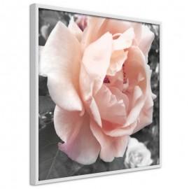 Póster - Delicate Rose