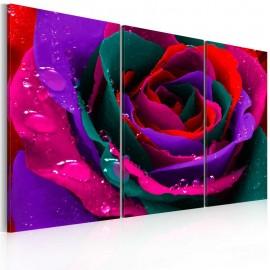 Cuadro - Rainbow-hued rose